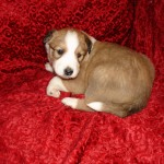 Ruby - sable and white female