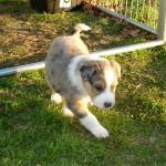 Scotch Collie Puppy Garnet