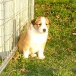 Scotch Collie Puppy Ruby