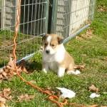 Scotch Collie Puppy - Diamond