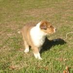Scotch Collie Puppy - Amber