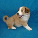 Scotch Collie Pup, Ruby