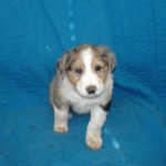 Scotch Collie Pup, Garnet