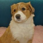 Scotch Collie Pup, Amber