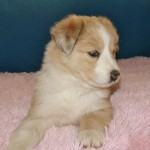 Scotch Collie Pup, Crystal