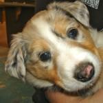 Scotch Collie Pup, Sapphire