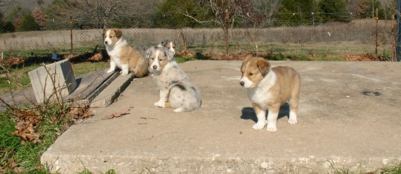 Old-Time Scotch Collie Pups