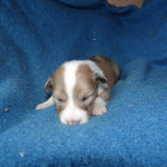D'artagnan – Sable and White Merle Male
