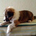 Scotch Collie Puppy Amy