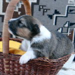 sable and white male Old-Time Scotch Collie Puppy