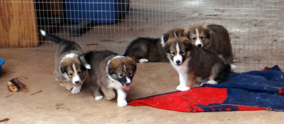 Old Time Scotch Collie Puppies