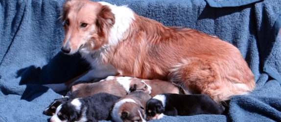 Autumn with her spring 2017 litter of Old-Time Scotch Collie Puppies