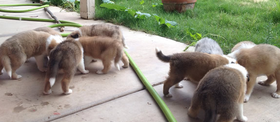 Scotch Collie puppies eating
