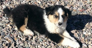 Maxwell, Tri-Color Scotch Collie Male Puppy