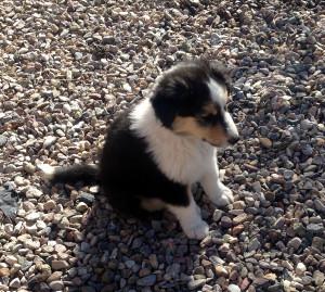 Maxwell, Tri-Color Scotch Collie Male Puppy