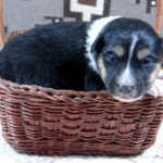 tri-color female Old-Time Scotch Collie Puppy