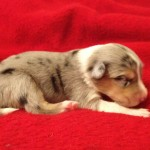 "Scotch Collie Puppy ""River Song"""