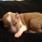 "Scotch Collie Puppy ""Rose"""