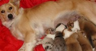 Strunk's Sally and Litter of Scotch Collie Puppies